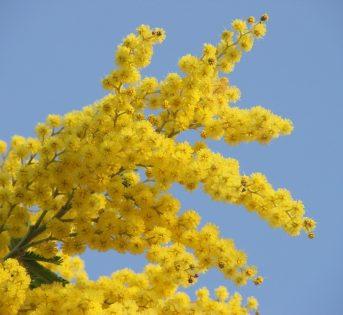 ?Festa della donna: metti una mimosa sul balcone