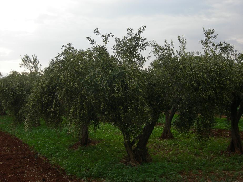 Azienda Agricola Basirico Laureato