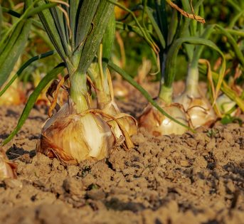 Cipolla: come far crescere il bulbo amico della salute