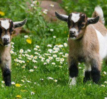 Gli animali come cura, l'esperienza di Temple Grandin