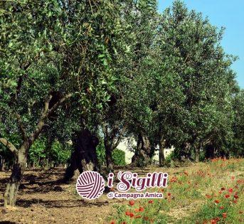 Uno scrigno di tesori: olive abruzzesi, campane e pugliesi