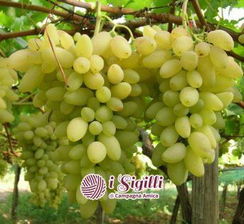 Pizzutello, l'uva a cornetto celebrata dai Latini