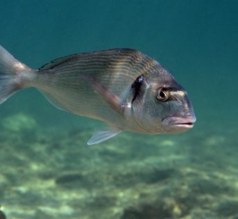 O… come orata, un pesce straordinario dalle tante qualità