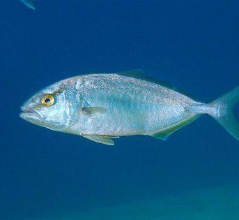 R…come ricciola, un pesce azzurro dal grande valore