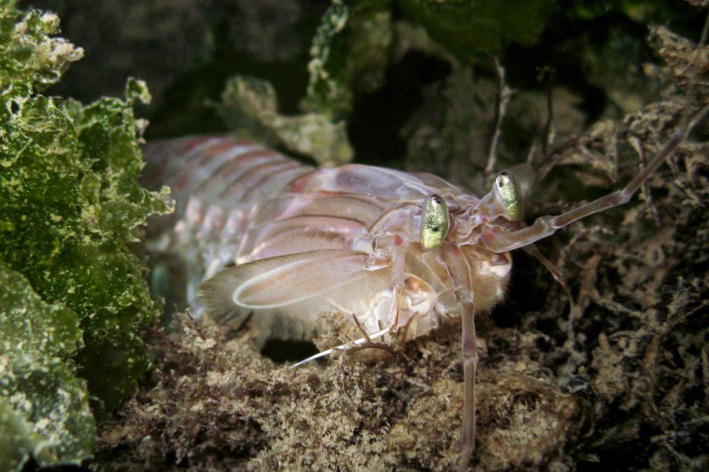 C…come cannocchia, la cicala di mare