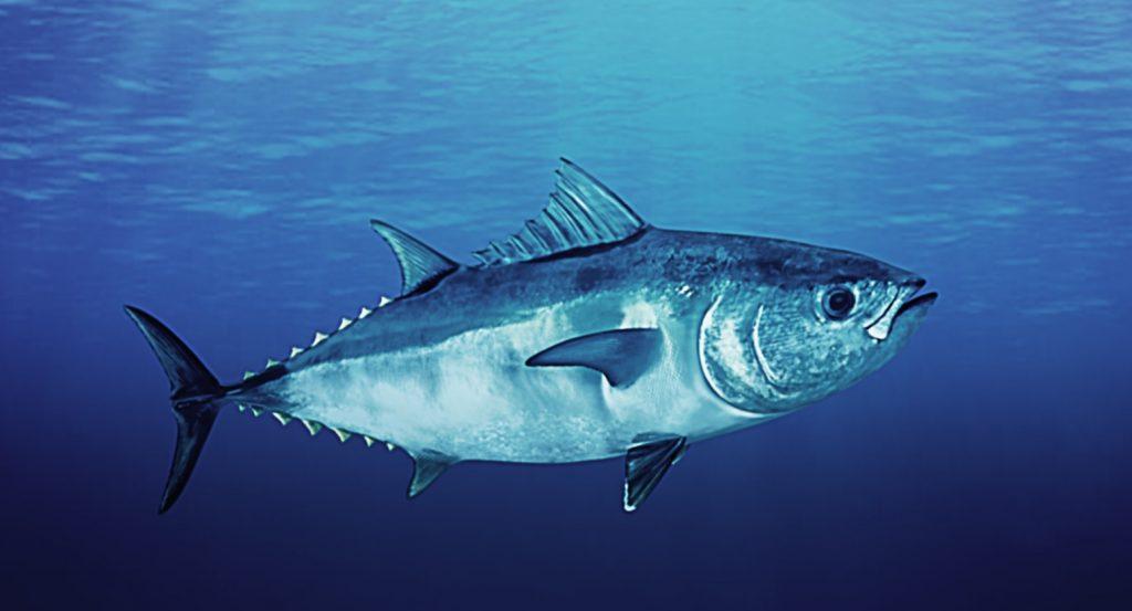 T… come tonno, il pregiato pesce pelagico