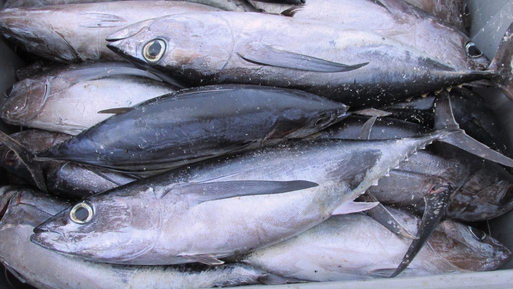 """A… come alalunga, il pesce azzurro """"cugino"""" del tonno"""