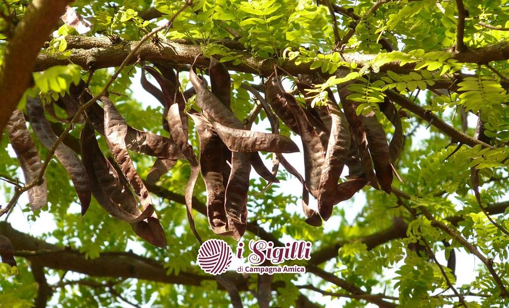 Carrubo, il sempreverde dalla storia antica