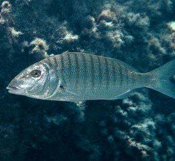 M… come mormora, pesce di acqua salata dalle notevoli proprietà nutrizionali