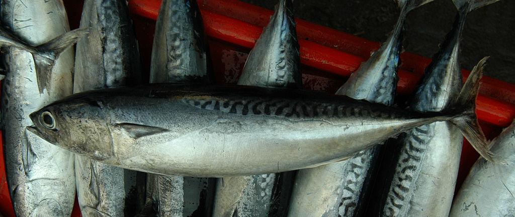 T…come tombarello, il pesce azzurro dalle carni molto apprezzate