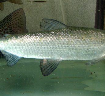 C… come Coregone, pesce di acqua dolce molto ricercato