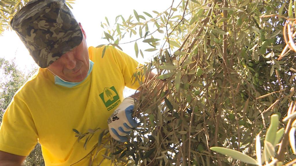 Al via alla raccolta delle olive