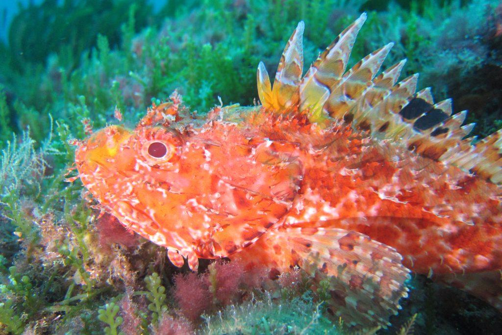 S… come scorfano, pesce dal colore vivace, gustoso e ricercato