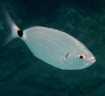 O… come occhiata, piccolo pesce dalle grandi proprietà