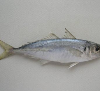 Pesce del mese di aprile, il Sugarello