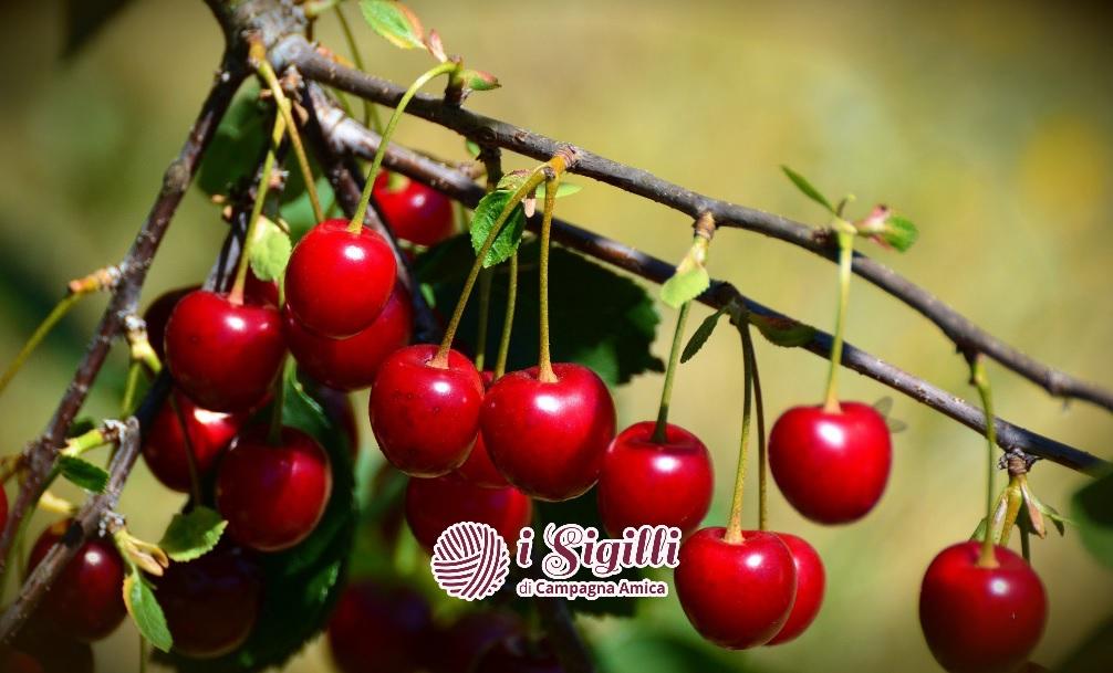 Piccola, rossa e deliziosa: la visciola nana dei Castelli