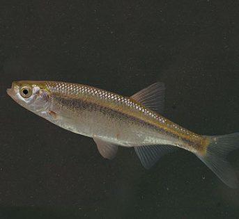 Il pesce del mese di luglio, l'Alborella