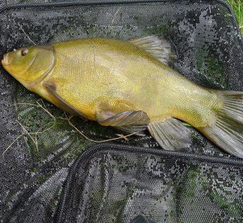 Il pesce del mese di agosto, la tinca