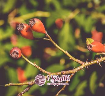 Rosa Canina, piccolo frutto dai grandi benefici